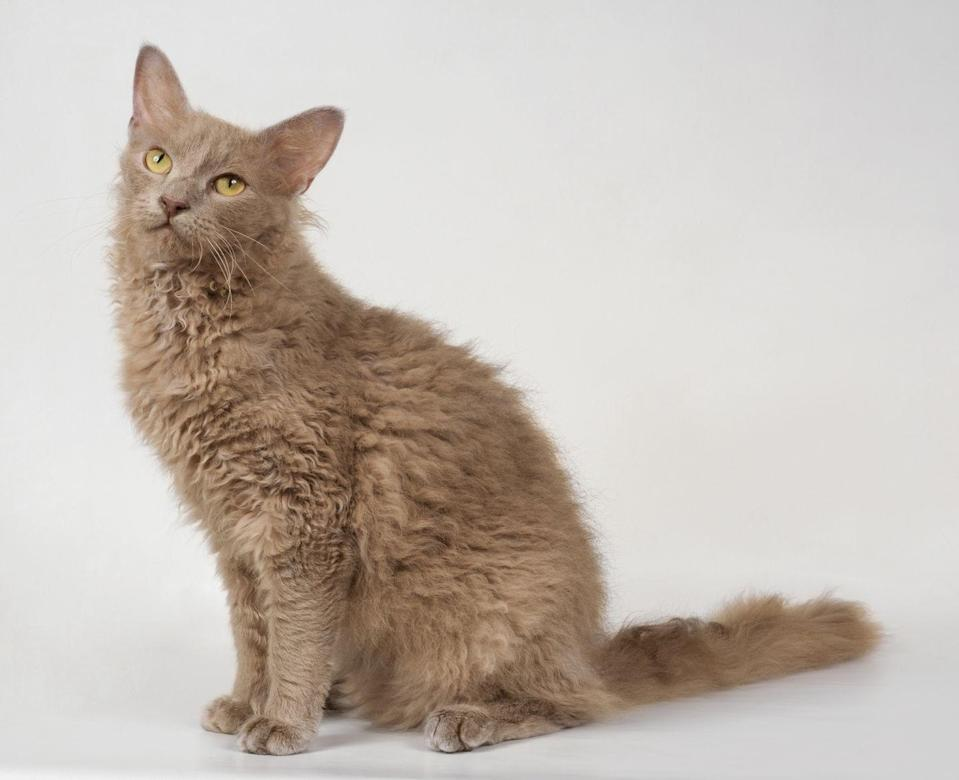 "<p>PetMD suggests keeping your fancy china out of the Laperm's reach. They are <a href=""https://www.petmd.com/cat/breeds/c_ct_laperm"" rel=""nofollow noopener"" target=""_blank"" data-ylk=""slk:highly active"" class=""link rapid-noclick-resp"">highly active</a> and will climb the highest shelf of your home. </p>"