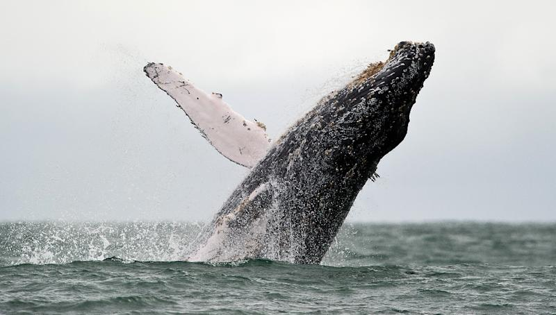 The humpback whale (pictured) has long been considered an endangered species, but the population has rebounded in most areas and no longer needs protection