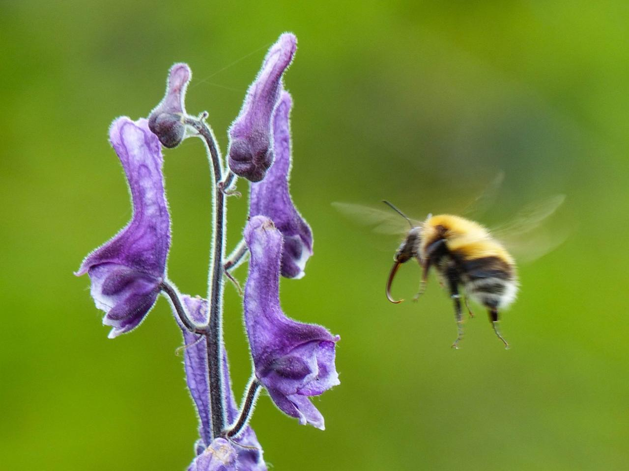 <p>A bee hovers close to a purple flower in front of a vivid green background. (Elin Videvall/SWNS) </p>