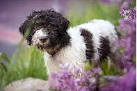 """<p>According to the AKC, the <a href=""""https://www.akc.org/dog-breeds/lagotto-romagnolo/"""" rel=""""nofollow noopener"""" target=""""_blank"""" data-ylk=""""slk:Lagotto Romagnolo"""" class=""""link rapid-noclick-resp"""">Lagotto Romagnolo</a> is colloquially known as Italy's """"truffle dog"""" because of her excellent nose that can root out the pricey delicacy. Despite their teddy-bear appearance, Lagotti Romagnoli are rugged workers with plenty of strength and endurance. Their double coat of hair is rough-looking and waterproof, forming thick curls over the entire body, minimally sheds — thought they may leave little tufts of hair behind at times. </p>"""