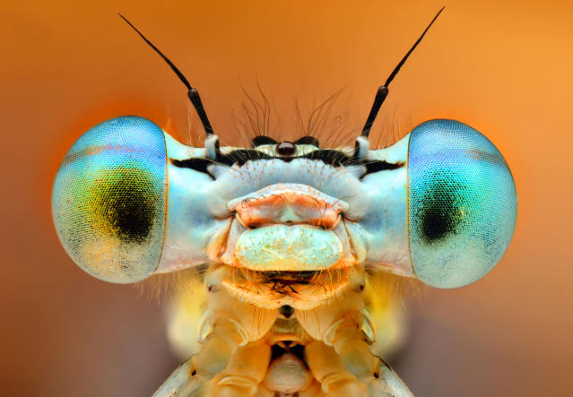 PIC BY IRENEUSZ IRASS WALEDZIK / CATERS NEWS - (PICTURED A bug in shades) - RAP your eyes around these stunning shots of insects which look like mini KANYE WASPS wearing funky shades. In the iconic music video for Stronger Kanye famously wore quirky shutter shades which he may have got inspiration from these insects it looks like. In incredible technicolour these wasps and flies have taken eyewear to another level with their prism-filled peepers. Photographer Ireneusz Irass Waldzik, 29, from Poland, used highly detailed macro photographer. SEE CATERS COPY.