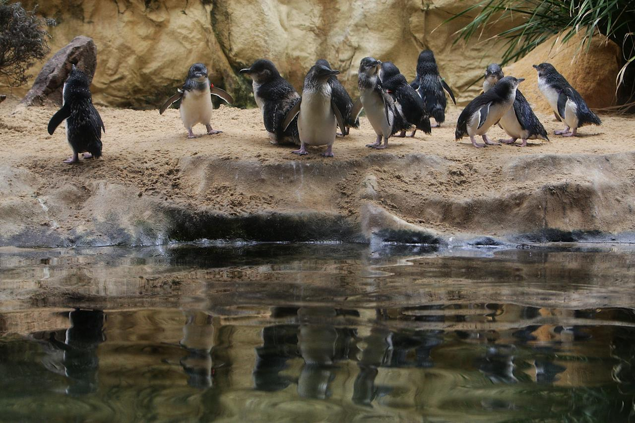 SYDNEY, AUSTRALIA - JANUARY 18:  Penguins at Sydney Aquarium gather to welcome baby penguins being released by staff on January 18, 2012 in Sydney, Australia. Three baby penguins were released into the aquarium and reunited with their parents for the first time since birth.  (Photo by Lisa Maree Williams/Getty Images)