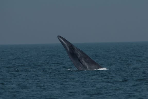 DNA Tests Unlock Secrets of Mysterious Bryde's Whales
