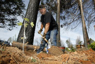 In this Thursday, Oct. 24, 2019, photo, Bill Husa plants a new tree to replace trees lost in last year's Camp Fire that destroyed his home in Paradise, Calif. Husa's home is one of nearly 9,000 Paradise homes destroyed in the deadliest and most destructive wildfire in California history. (AP Photo/Rich Pedroncelli)
