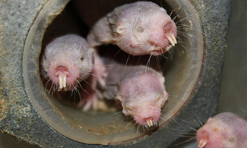 They can run backwards and forward with equal ease, eat their own poo, can move their teeth like chopsticks and feel no pain – are naked mole rats the spirit animal we've all been looking for?