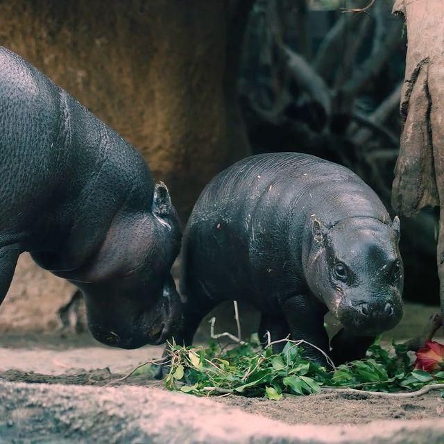 <p>We <em>also</em> want a hippopotamus for Christmas after seeing these pygmy hippos munching on evergreens at the San Diego Zoo.</p>