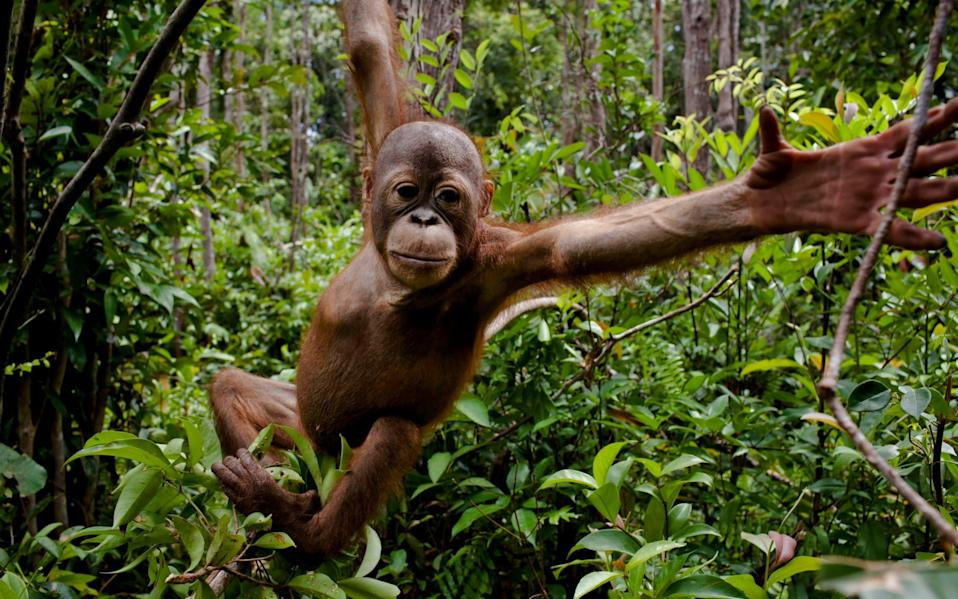 A baby orangutan at an orangutan foundation in Borneo, where the expansion of plantations is destroying their habitat - Greenpeace SOUTHEAST ASIA - IDN,