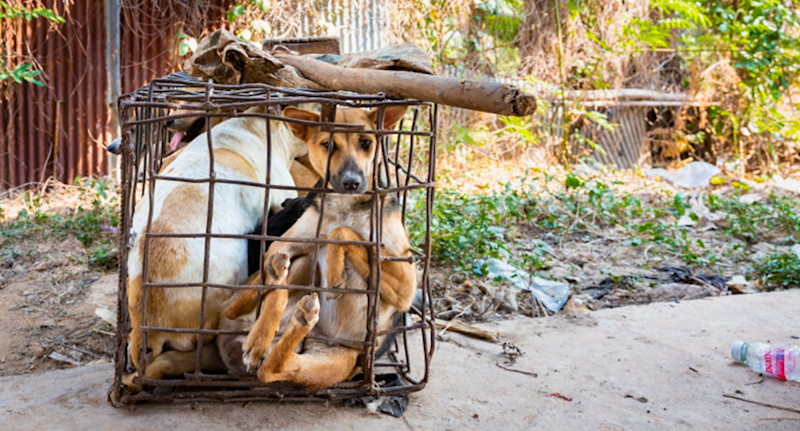 A dog confined in a small cage with other canines looks at the camera on a farm in Cambodia.