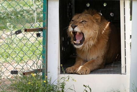 Simba the lion, one of two surviving animals in Mosul's zoo along with Lola the bear, is seen at an enclosure in the shelter after arriving in Jordan, April 11, 2017. Picture taken April 11, 2017. REUTERS/Muhammad Hamed