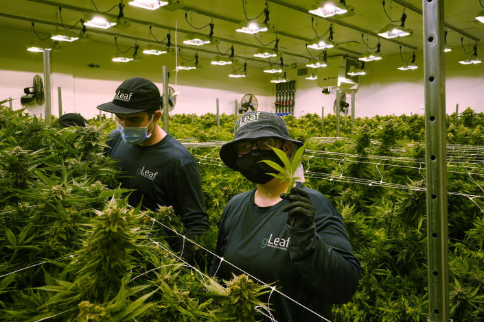 A worker holds a cannibis leaf as they trim cannibis plants that are close to harvest in a grow room at the Greenleaf Medical Cannabis facility in Richmond, Va., Thursday, June 17, 2021. The date for legalizing marijuana possession is drawing near in Virginia, and advocacy groups have been flooded with calls from people trying to understand exactly what becomes legal in July. (AP Photo/Steve Helber)