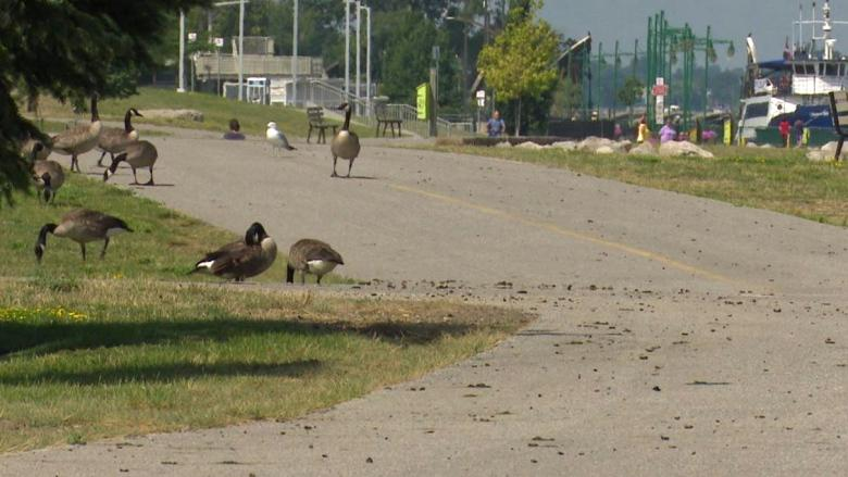 Council invests in goose droppings sweeper to combat messy paths