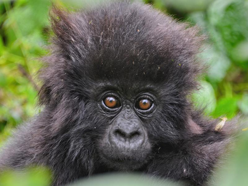 Two dozen baby mountain gorillas were named to celebrate World Gorilla Day by the rangers who protect them (RDB)