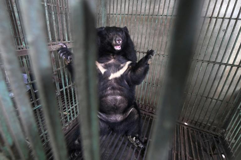 A bear being rescued from a facility in Vietnam where their bile is extracted for use in traditional medicine