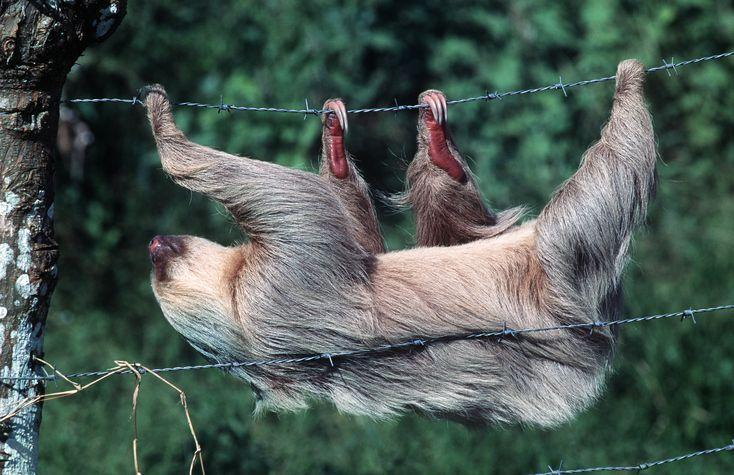 """<p>Even though sloths are divided into a """"two-toed"""" and a """"three-toed"""" group, they both have three claws on their back feet. Their front paws are where the differences lie. <a href=""""https://nationalzoo.si.edu/animals/news/why-are-sloths-so-slow-and-other-sloth-facts"""" rel=""""nofollow noopener"""" target=""""_blank"""" data-ylk=""""slk:The two-toed variety just have two toes on their front feet"""" class=""""link rapid-noclick-resp"""">The two-toed variety just have two toes on their front feet</a>, according to the Smithsonian's National Zoo.<br></p>"""
