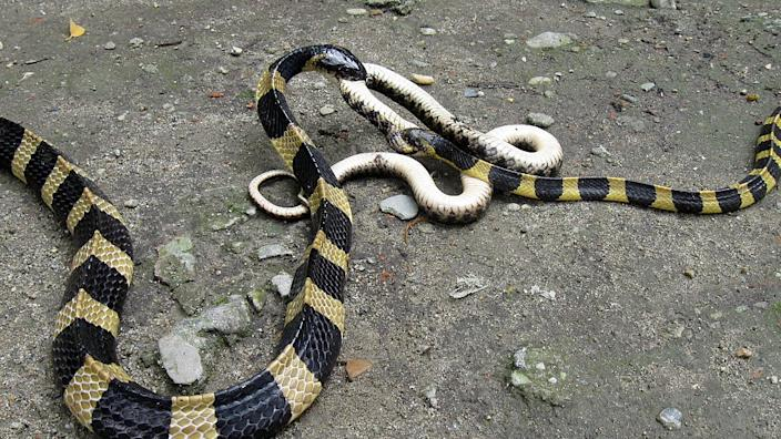 There are different kinds of Indian krait, a venomous species found in the subcontinent.