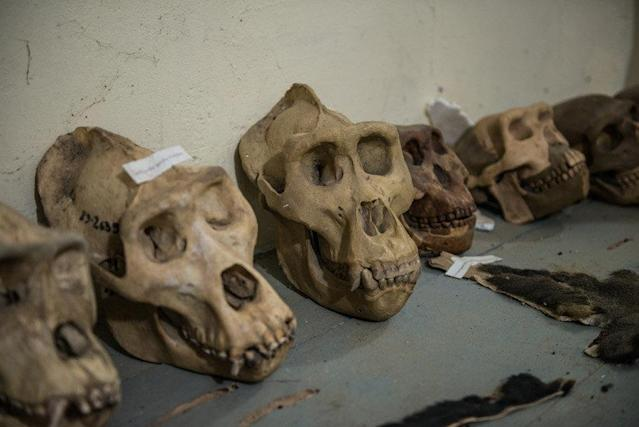 Skulls collected from expeditions conducted by the Congo Biodiversity Initiative are seen on display in the organization's museum. (Neil Brandvold/DNDi)