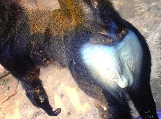 The bright blue nether regions of a male lesula, killed by hunters.