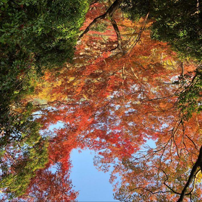 Finding Hope in the Japanese Maples