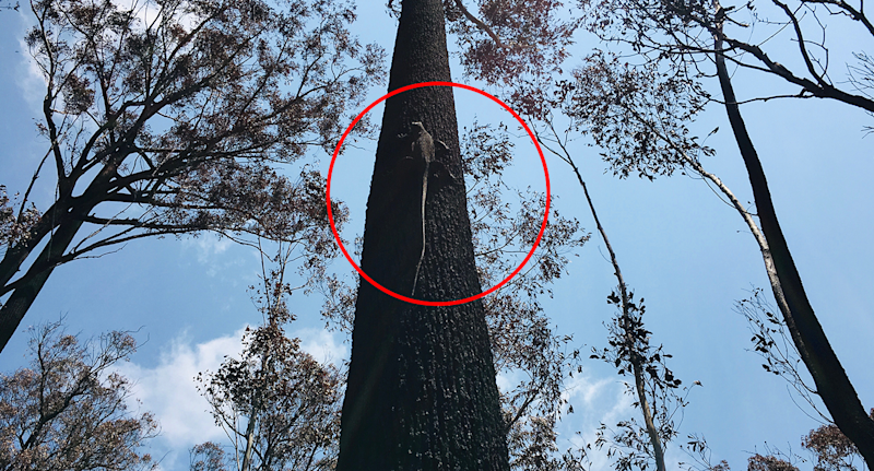A red circle highlights a joey up a tree in East Gippsland.