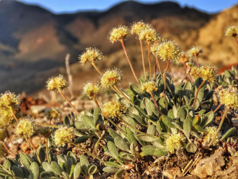 FILE - This June 1, 2019, file photo provided by the Center for Biological Diversity, shows the rare desert wildflower Tiehm's buckwheat in the Silver Peak Range about 120 miles southeast of Reno, Nev. An Australian mining company says its pursuit of a huge lithium deposit in Nevada is critical to accelerating the manufacture of electric vehicles and reducing greenhouse gases. Opponents argue the mine can't be built without causing the extinction of the only native population of the rare desert wildflower known to exist in the world. (Patrick Donnelly/Center for Biological Diversity via AP, File)
