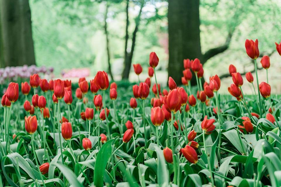 <p>Red tulips in bloom in Amsterdam</p>