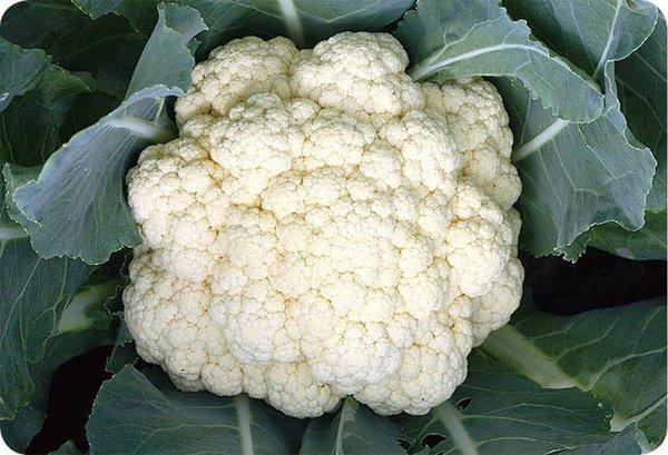 Ching Long Seed's Cauliflower Seeds H-37 features the most tolerant to heat and extra early variety 37-day maturity after transplanting.