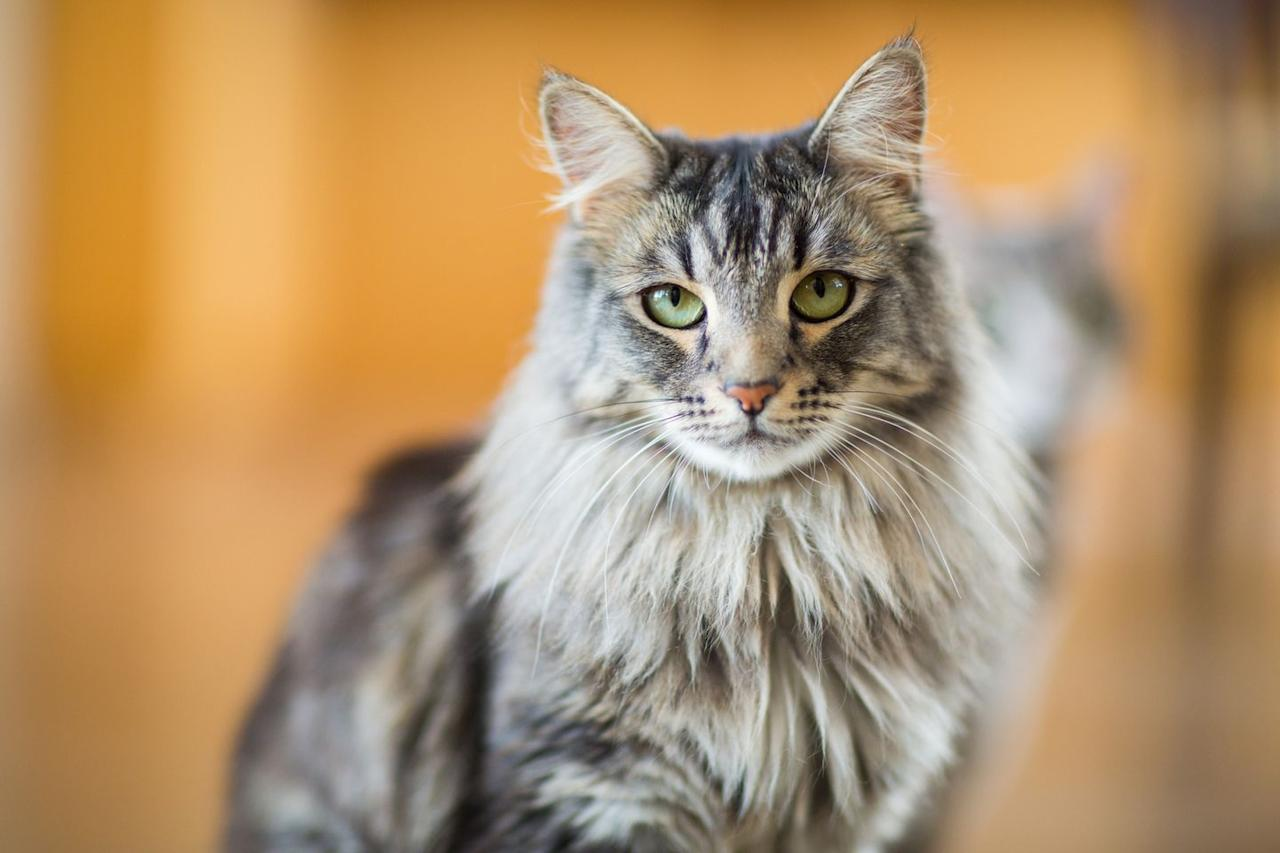 """<p>According to Cat Time, <a href=""""https://cattime.com/lifestyle/2022-top-10-cats-who-love-water"""" target=""""_blank"""">Maine Coons used to be popular ship cats</a> in New England. Their thick, water-repellent coats make them more equipped to face the deep sea, or at least a bath.</p>"""