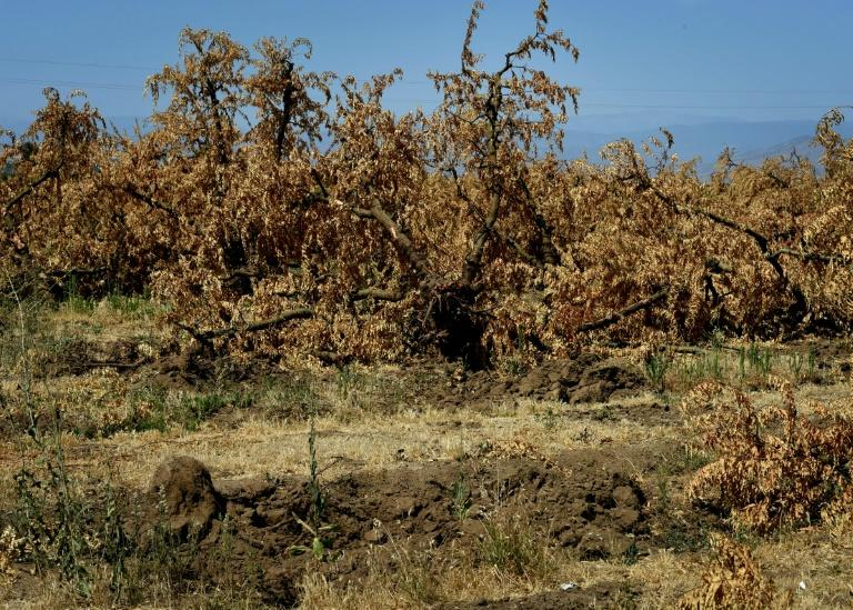 Dead plum trees that have been removed from the ground due to the lack of water in the drought-affected town of Monson, California on June 23, 2015