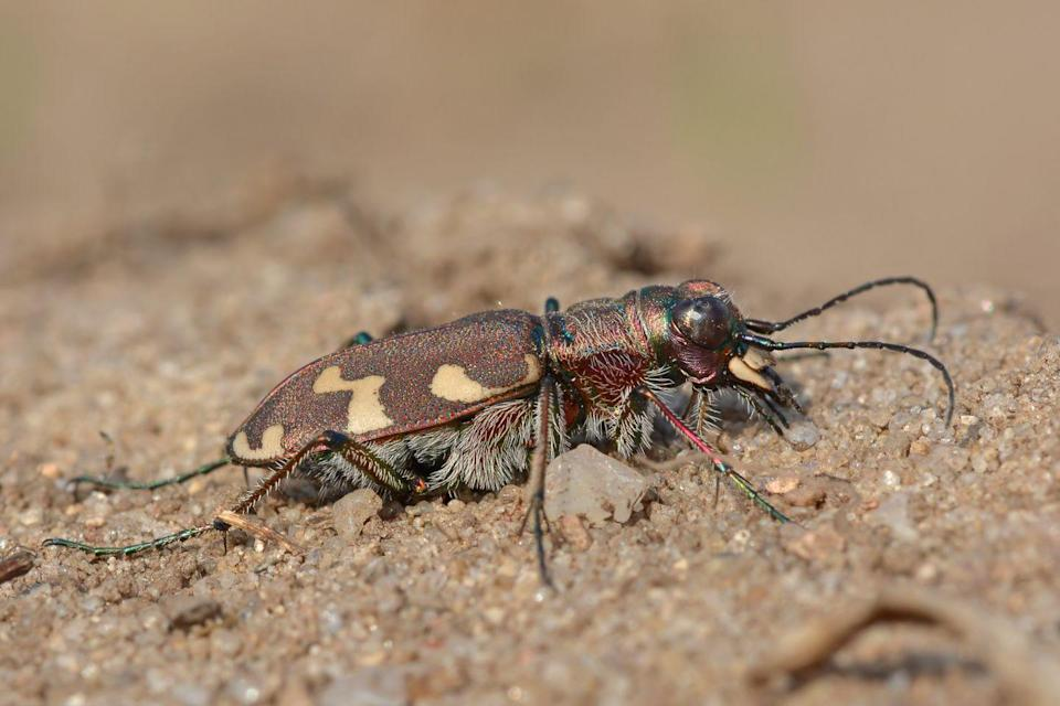 <p><strong>Puritan Tiger Beetle - </strong>Native to Maryland, its last populations live near sandy beaches which are constantly disturbed by patrons. You can help save the beetle by being more conscious on your next trip. </p>