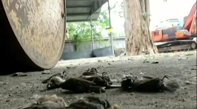 There are hundreds of dead birds around the volcano. Source: 7 News