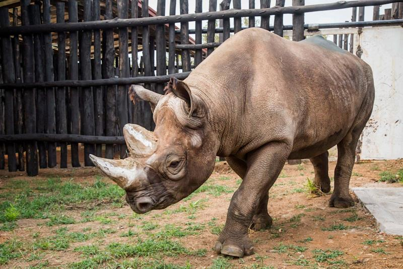 A critically endangered eastern black rhino walks around its enclosure just after being offloaded from a truck in Akagera national park, Rwanda: AP