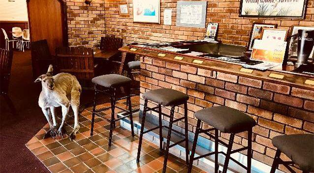 This photo shows 'Manky' - the oldest kangaroo that hangs around the tavern. Source: Supplied / Megan Braid