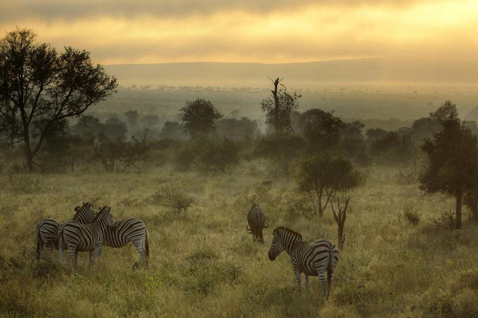 Misty morning with Zebras and wildebeest in Kruger National Park, South Africa