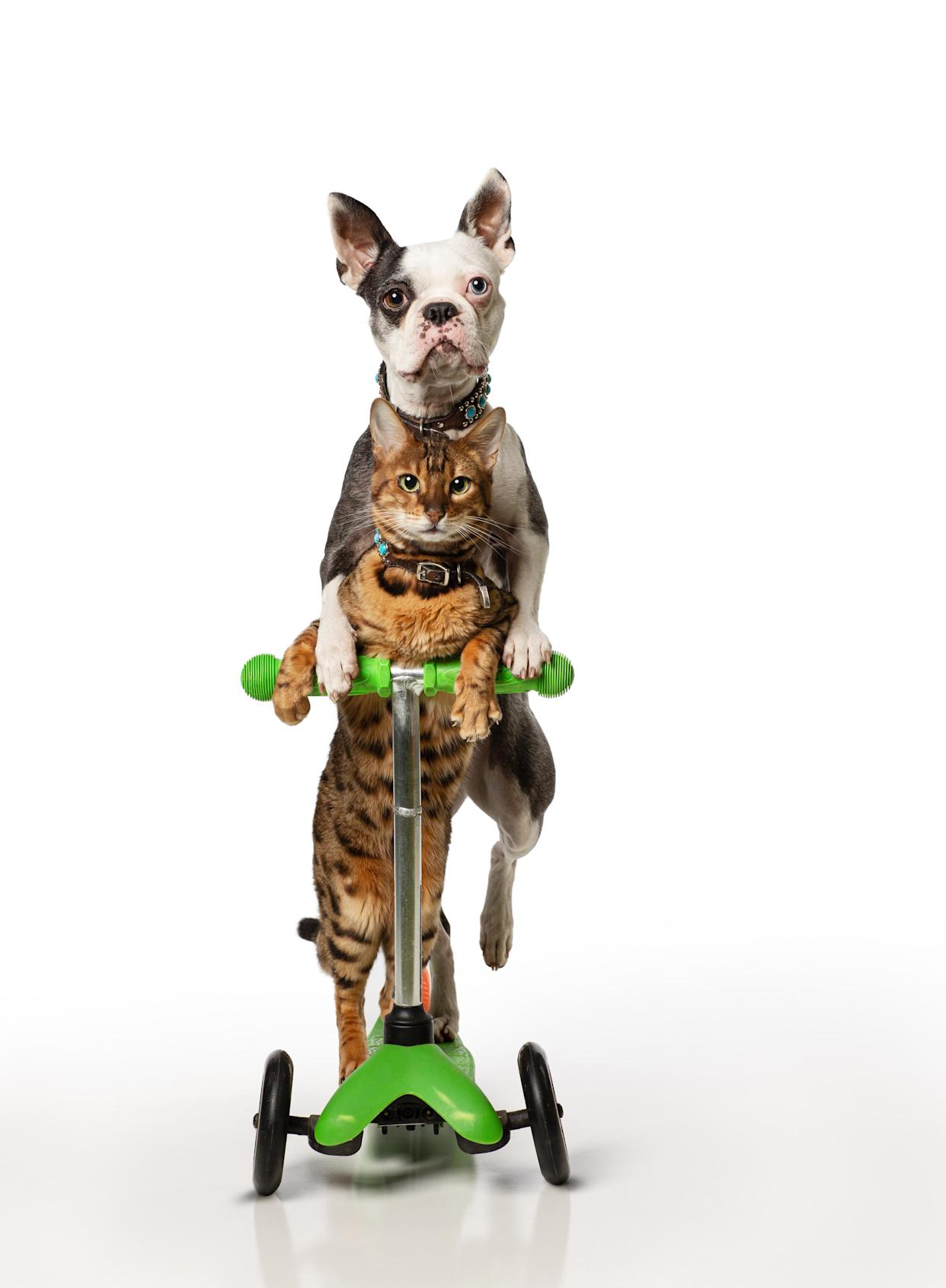 Lollipop and Sashimi completed the fastest 5m on a scooter by a dog and cat (Guinness World Records 2022)