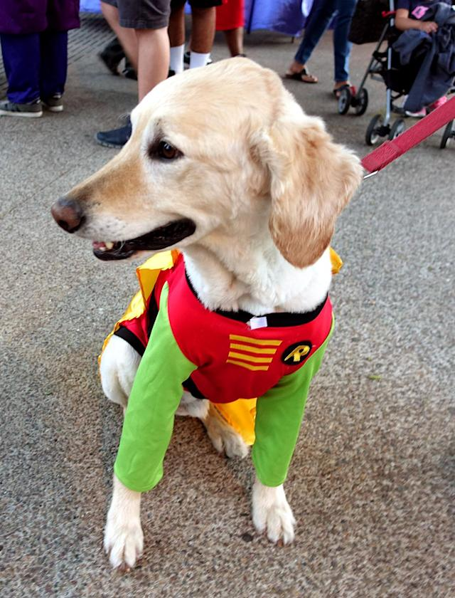 <p>Cosplayer dog dressed as Robin at Comic-Con International on July 21, 2018, in San Diego. (Photo: Angela Kim/Yahoo Entertainment) </p>