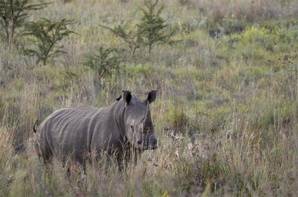 A White Rhino walks through scrub in the dusk light in Pilanesberg National Park in South Africa's North West Province April 19, 2012.