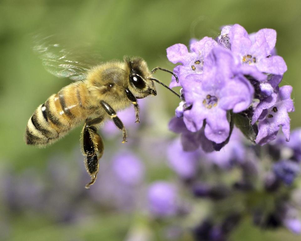 <p><strong>Honey Bee <br><br></strong>The Show-Me State picked the honey bee as its state insect in 1985. </p>