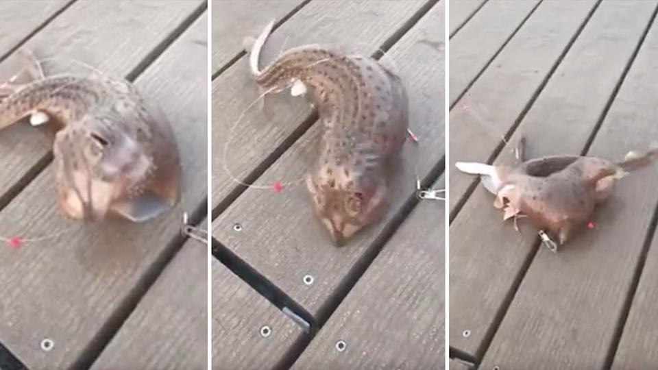 The skate, was reacting to being caught on fishing line. Source: TikTok/Natalie1526n