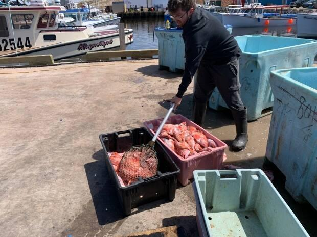 Machon's Point Co-Op scoops up tubs of fresh redfish for lobster bait. Fishermen also use fresh or frozen mackerel, herring and some other fish. Like everything, prices for bait have been rising steadily.