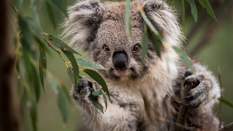 Koalas are vulnerable to extinction in Queensland, NSW and the ACT. Source: Doug Gimsey via ACF