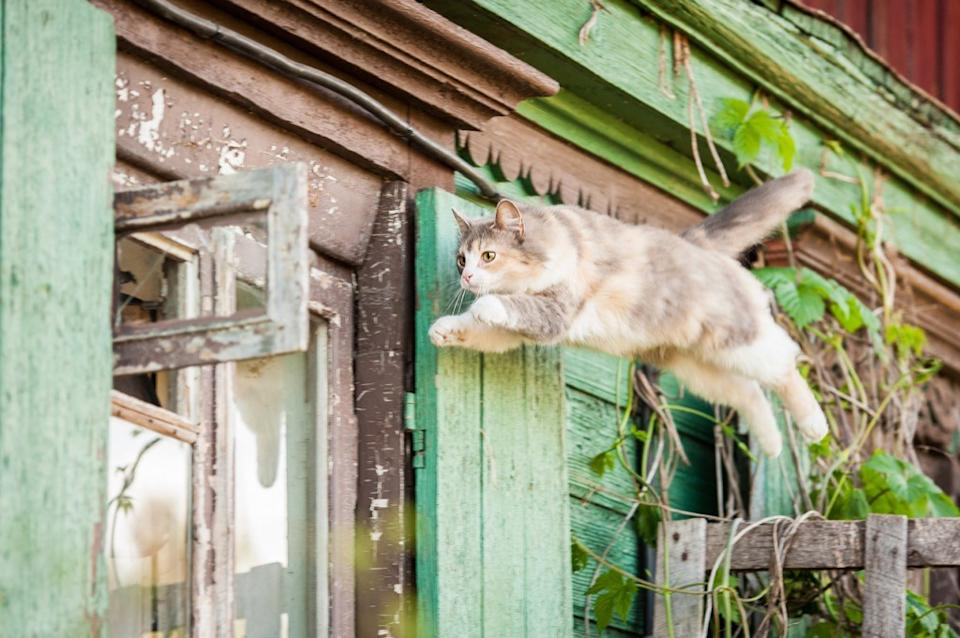 cats can jump surprisingly far and high up into the air