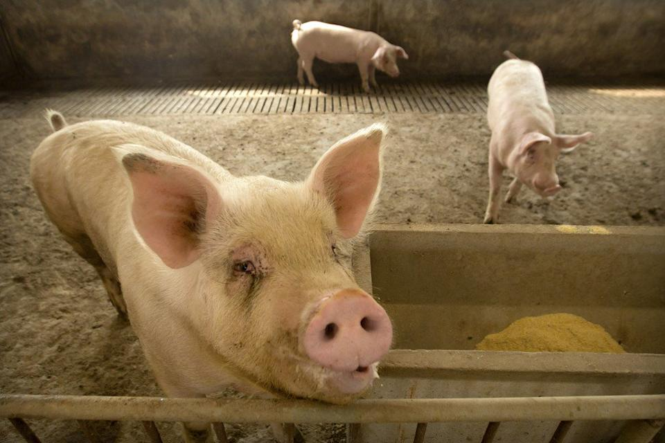 Since the first African swine fever outbreak in Liaoning province in August 2018, the disease has affected animals across the country, forcing China to cull more than 1.1 million pigs from an estimated herd of 350 million. Photo: AP
