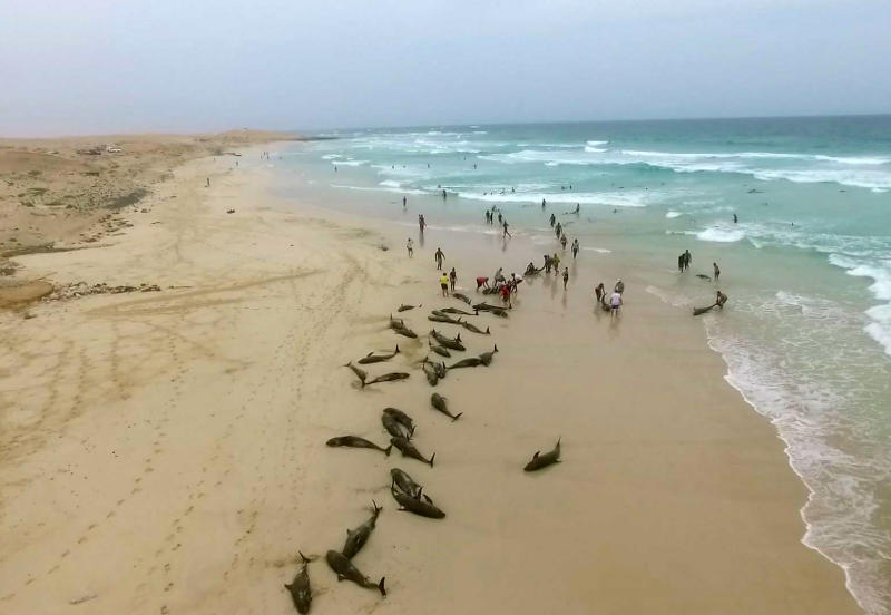 In this image made from video provided by Elton Neves and taken on Tuesday, Sept. 24, 2019, dead dolphins are seen on a beach on Boa Vista Island, Cape Verde. Authorities in the Cape Verde islands are waiting for experts from Spain to help determine why more than 100 dolphins died on a local beach.  Local media report that around 200 melon-headed dolphins were found on a beach on Boa Vista island on Tuesday. Officials, residents and tourists managed to drag some of them back out to sea, but many returned. (Elton Neves via AP)