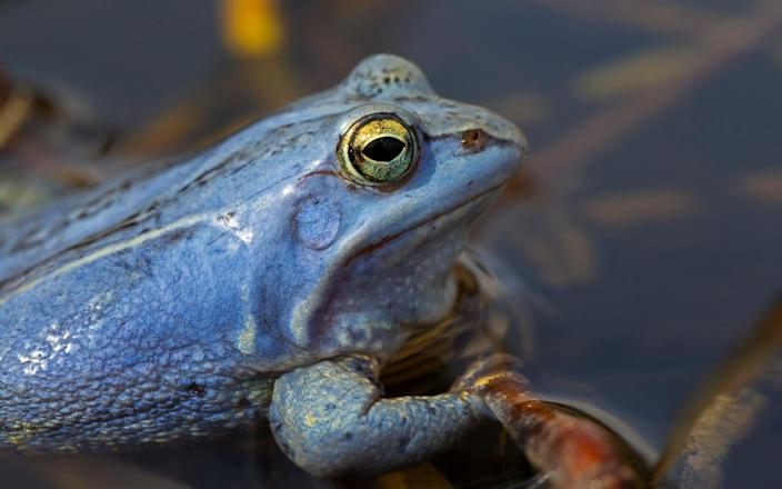 The frogs turn bright blue - Arterra/Universal Images Group via Getty Images