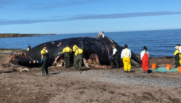 Another right whale has been found dead in Canadian waters, says DFO