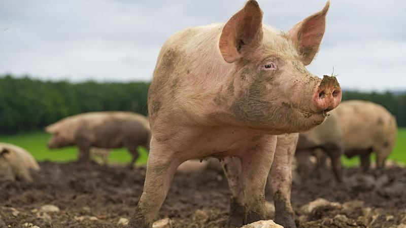Woman 'eaten alive by pigs after suffering seizure'