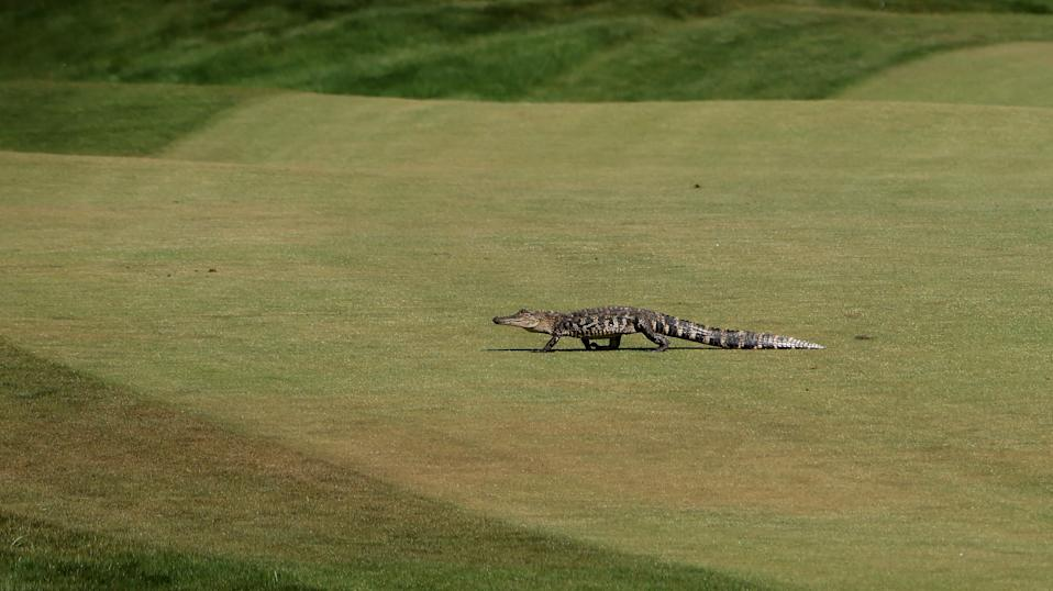 KIAWAH ISLAND, SOUTH CAROLINA - MAY 21: An alligator crosses the sixth fairway during the second round of the 2021 PGA Championship at Kiawah Island Resort's Ocean Course on May 21, 2021 in Kiawah Island, South Carolina. (Photo by Jamie Squire/Getty Images)