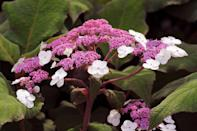 """<p>The """"Plum Passion"""" is a """"Lacecap"""" iteration, but unlike the other species in this family, this one has stunning foliage. """"The new growth is a dramatic green with just a hint of purple,"""" explains Georgia Clay, the plants manager at <a href=""""https://www.monrovia.com/"""" rel=""""nofollow noopener"""" target=""""_blank"""" data-ylk=""""slk:Monrovia"""" class=""""link rapid-noclick-resp"""">Monrovia</a>. """"As the foliage ages, it turns a deep purple with plum undersides."""" In fall, expect the tops of the leaves to turn gold, while the bottoms remain purple. """"Its bicolor blooms also feature pink-white florets that surround the fertile flowers,"""" Clay adds, noting that this a must-have for hydrangea enthusiasts. Native to China, you can grow this beauty in an area with filtered sunlight and evenly moist soil in USDA Hardiness Zones seven through 10.</p>"""