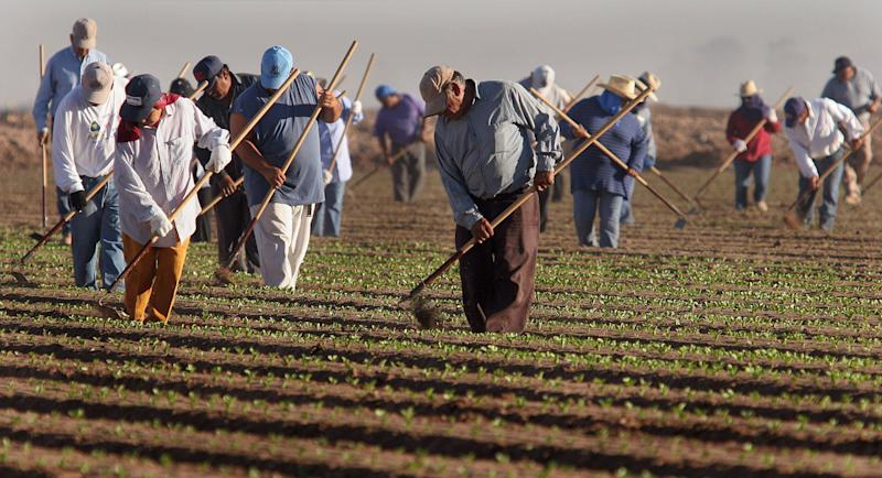 Farm workers thin lettuce crops work in in San Luis, Arizona. (AP Photo/Paul Connors) (Photo: ASSOCIATED PRESS)