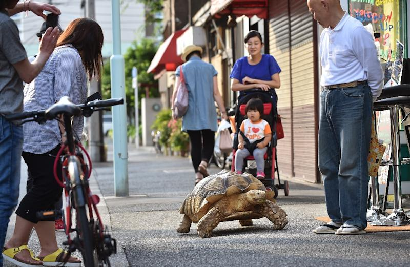 Bon-chan, a 19 year old male African spurred tortoise weighing about 70 kg, and his owner Hisao Mitani go out for a walk in Tokyo, on June 10, 2015 (AFP Photo/Kazuhiro Nogi)